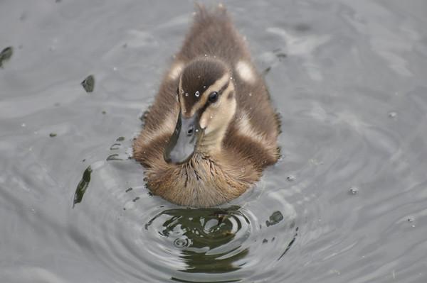 geese,swans,& ducks