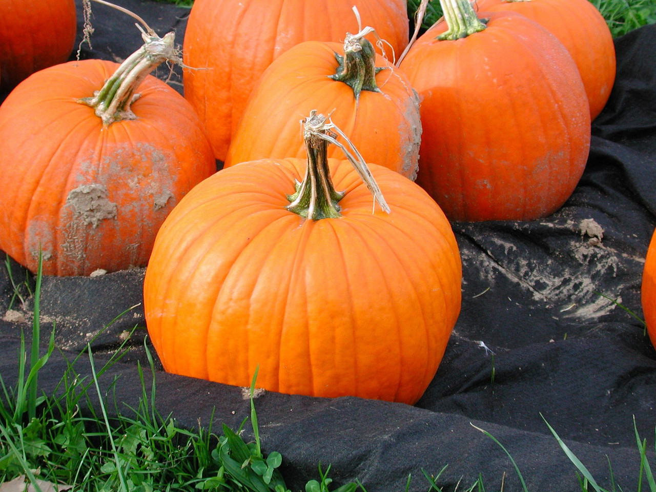 A pumpkin picture taken by Stormie Paslow - age 5 years old.