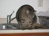 Hefty Cat