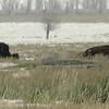 Winter Herd in Wyoming