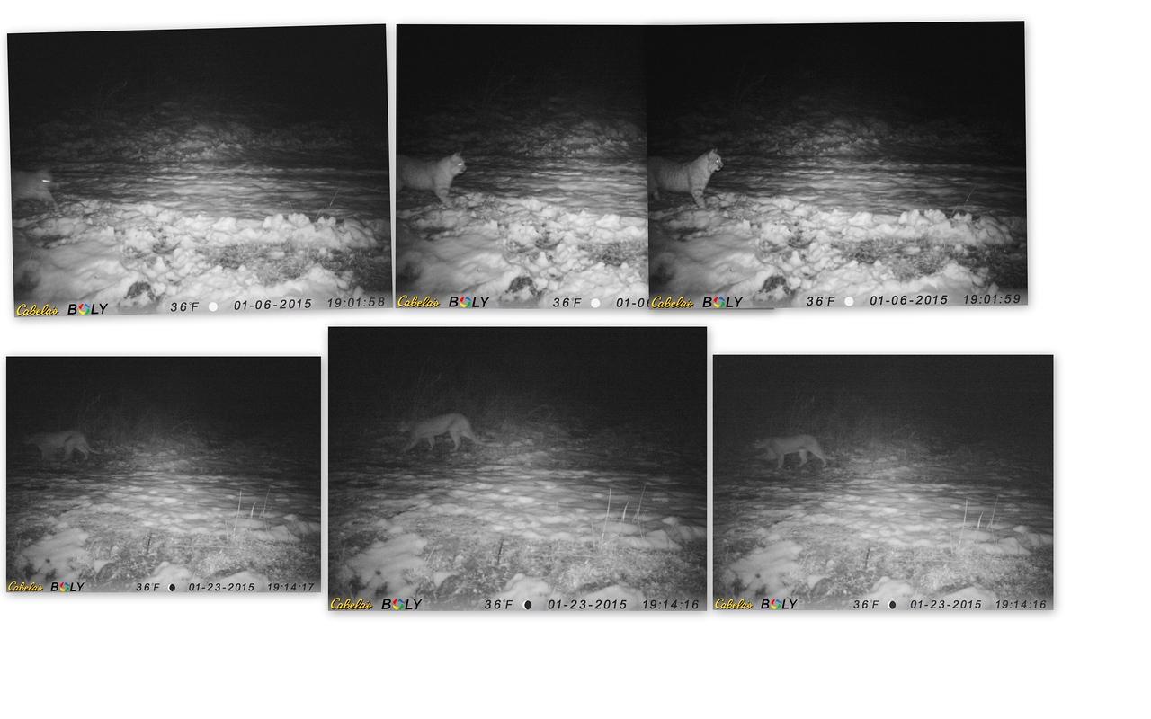 Trail cam pics Bobcat andMountain  lion