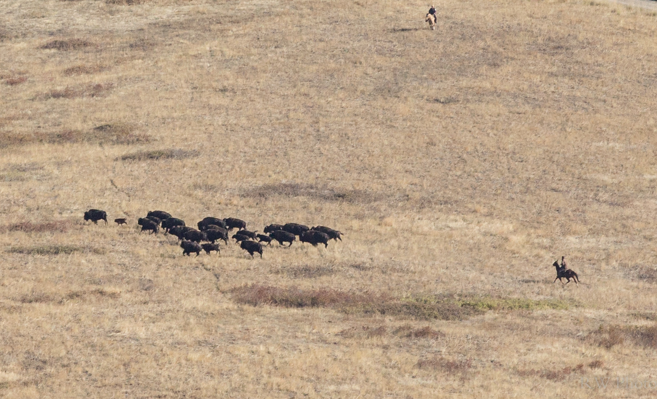 Starting to move a smaller group toward the larger herd