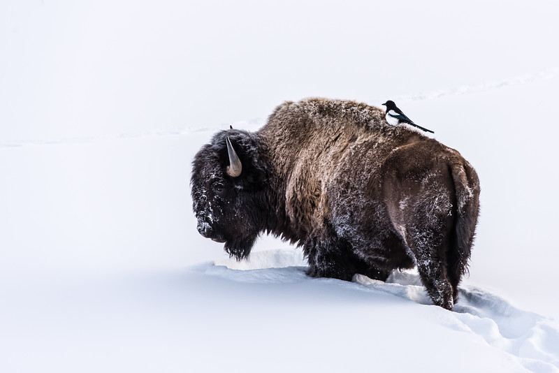 Yellowstone  Bison with Magpie
