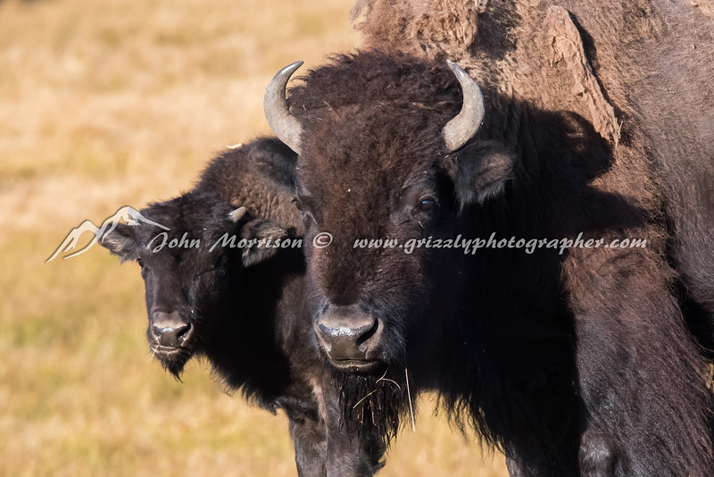 Bison Mama and her big calf