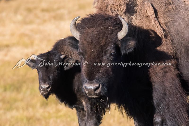 Bison Mama and her big calf
