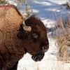 American Bison Scratching