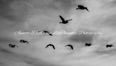 """""""Geese in Flight"""" Sandy Cove, North East MD"""