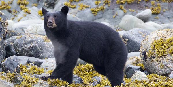 Black Bears - South East Alaska