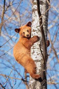 Way Up High in the Aspen Tree - Yearling Cub