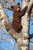 Way Up High in the Aspen Tree - Spring Cub