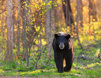 Black Bear in Sun-Dappled Woods