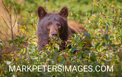 Sow Black Bear and Berries