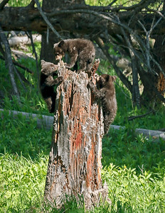 Three Black Bear Cubs Climbing