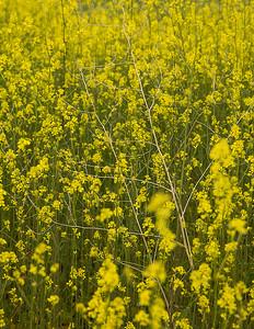 Wild Mustard, Black Mesa