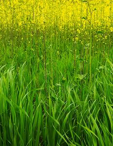 Wild mustard and grasses on Black Mesa