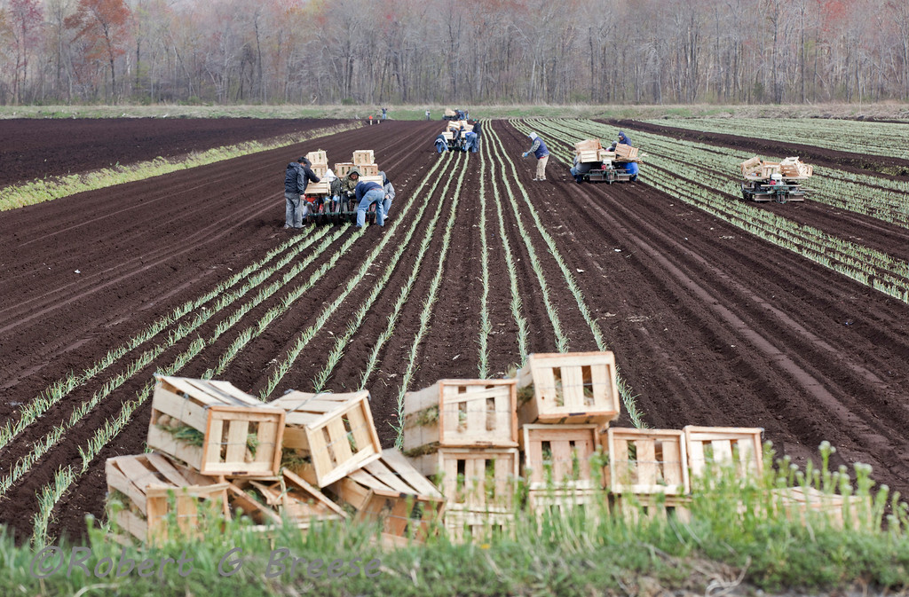 Farm workers plant thousands of onion replants in the black dirt region of Warwick NY for the 2012 growing season.