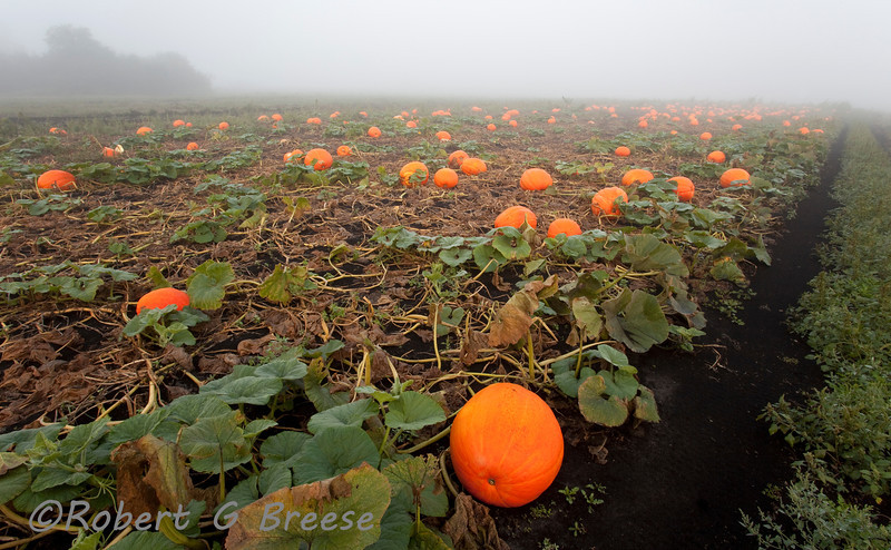 Large pumpkins resting on the black dirt field of Scheuermann's Farm In Pine Island on foggy Tuesday morning