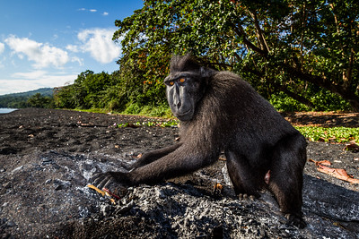I was following a group of black macaques in Tangkoko, Sulawesi. This male broke away from the rest of the group and went to investigate an old fire pit. He dug around and pulled out a lump of charcoal which he started to chew. This behaviour has been documented as a in other species as a form of self medication to help neutralise plant toxins. To me this shot captures the inquisitive nature of these criticically endangered monkeys.