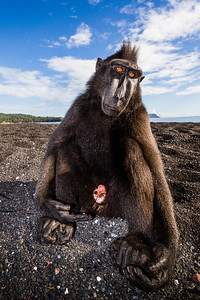 Hangin' with the funkiest monkey! Sulawesi Crested Macaque on volcanic sands