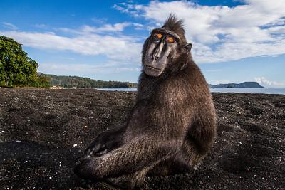 Celebes crested macaque / black macaque (Macaca nigra), Tangkoko, Sulawesi, Indonesia. Large adult male.