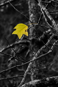 Yellow Poplar  BWC