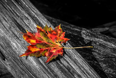 Fall Maple BWC