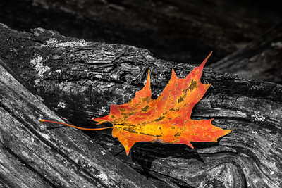 Fall Maple Leaf BWC