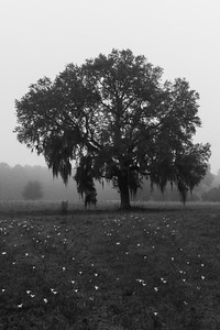 Morning Oak Fog