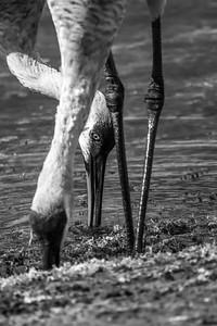 Sandhill Cranes Feeding  (BW)