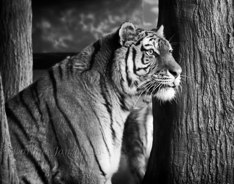Tiger Milwaukee Zoo