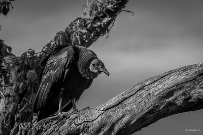 Black and White Vulture