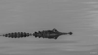BW Gator
