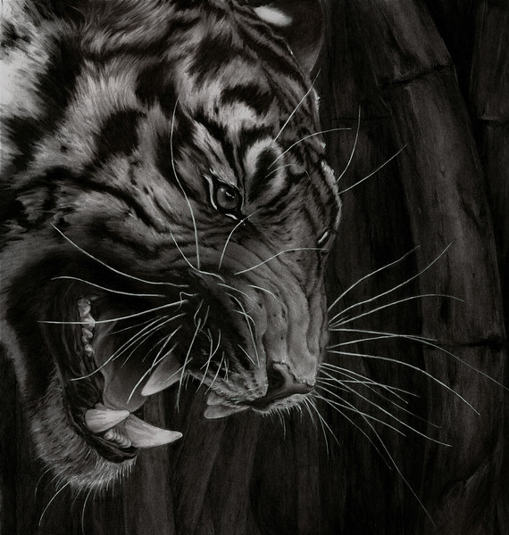 """Night Tiger in Bamboo"" (charcoal) by Jane Orosco"
