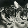 """German Shepherd"" (charcoal) by Denise Carter"