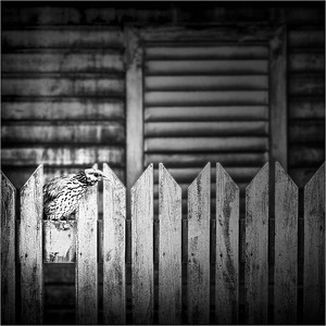Picket Fence with Bird BW