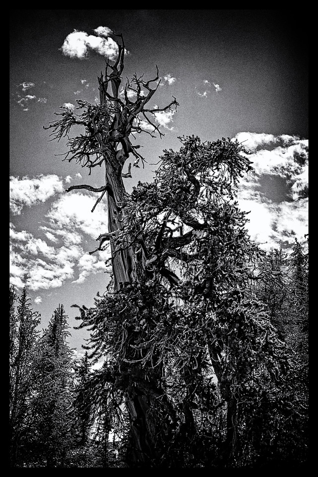 Bristle Cone Pine - Eastern Sierra - Winter