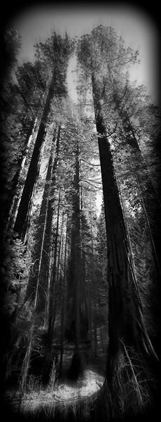 Redwoods Mariposa Yosemite B & W
