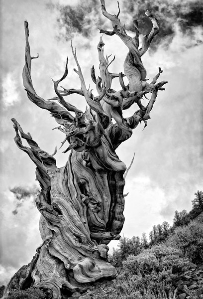 Ancient Bristlecone Tree - Vertical 3 image Pano