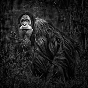 Orangutan BW