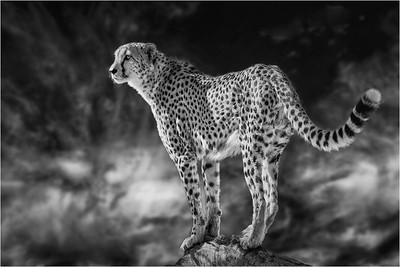 Cheetah 3a BW