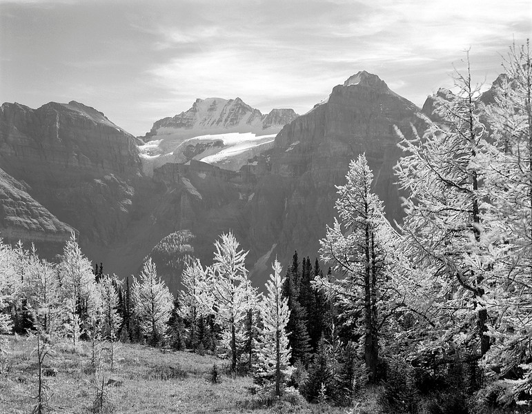 Larch Trees and Mount Fay