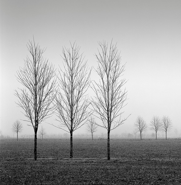 Nursery Trees In Fog
