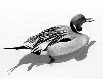 Pintail Duck - Cincinnati, Ohio  -1971