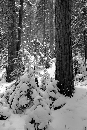 Snowy Pine Forest - Big Knob State Park.   Engadine, Michigan