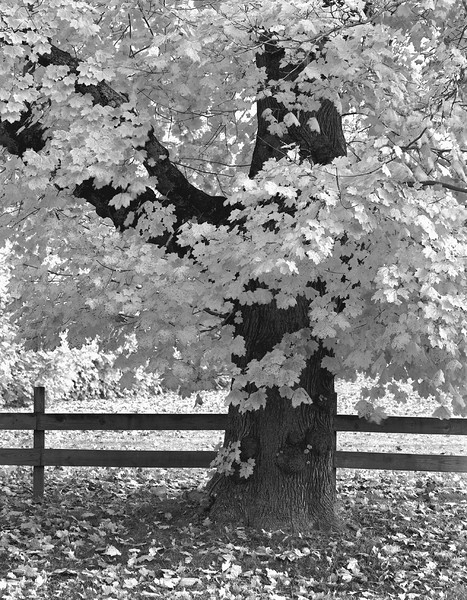 Fall Tree and Fence