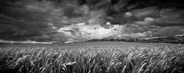 Totternhoe Fields