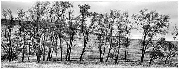 Londagin Road Locust Trees, Waitsburg, WA