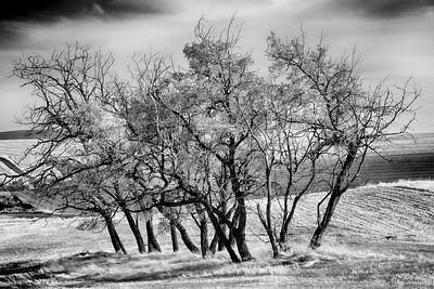 Dancing Trees, Walla Walla County, WA