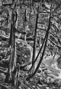 Mossy Trees on Buck Creek