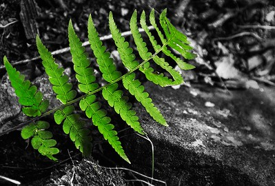 fern bw color